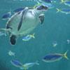 Bochan: Turtle