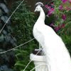 w-peacock