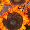 firey flowers