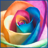 happy color rainbow rose