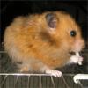 bino_hamster