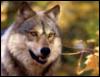 alonwolf