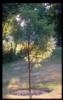 cemeteryconsort: peeling bark maple