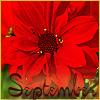 dahlia, september