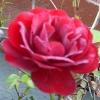 Mabiana: Rose Sept 07