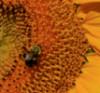 bees, sunflower