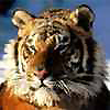 Тигрище