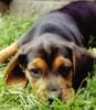 beagle aww