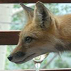 rodant_kapoor: I Can Has Fox