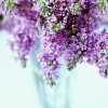Allee: lilacs