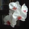 calendula_witch: white orchid