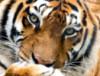 Супер Тигра