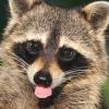 vorpal_raccoon