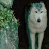 BlackSquirrel: Wolf