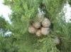 cypresstree userpic