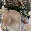 hawk vs. mouse