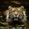 oxbridge_tiger userpic