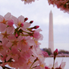 Washington - Monument Blossoms