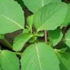 green magick, Herbalism, Jewelweed