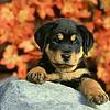 dog-autumn-leaves