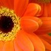 Orange Gerbra