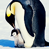 animals penguin and bebeh