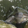 expectant turtle
