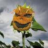 evilsunflower