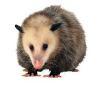 opossum_vg userpic