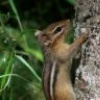 Chipmunk on tree