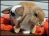 vanmedi: Floppy Bunny Mess