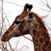 """Радио """"Родезия"""": Giraffe"""