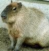 capybarych userpic
