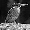 kingfisher650ml userpic
