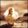 your royal pie-ness: txtls: duckling enh