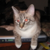 catlaptop