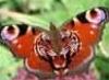 бабочка, неуловимая