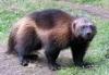 alextione: Росомаха-зверь