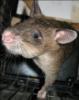 Rat Wants Out