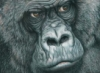 Age of Reason: Gorilla