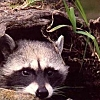 raccoons_dreams userpic