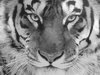 взгляд тигр