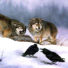 Wolf Snarl