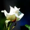 shygryf: white rose