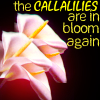Emma: callalilies