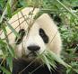 панда с травой