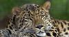 strogg_leopard userpic