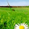 spring_romashki userpic