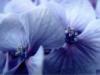 floresazuis userpic