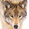La Push Werewolf Pack